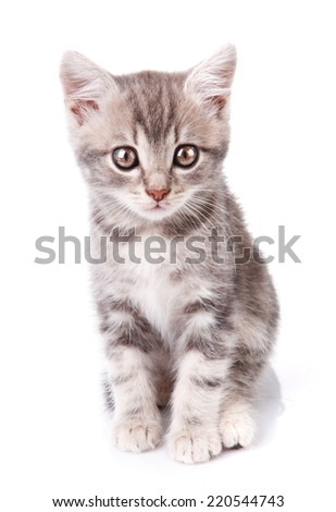 Gray and white tabby kitten