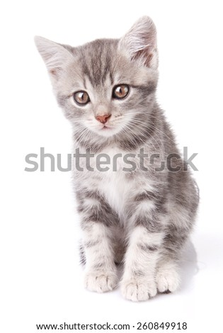 beautiful gray tabby kitten sitting on white background