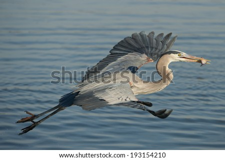 Beautiful Great Blue Heron (Ardea hernias) feeding on the James River.