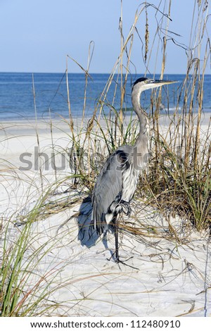 Beautiful great blue heron standing on a sand dune at the ocean. - stock photo