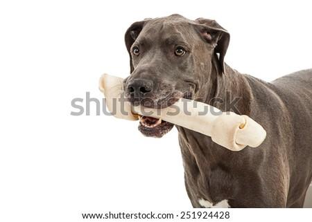 Beautiful great dane breed dog closeup holding big bone in mouth - stock photo