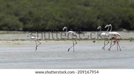 Beautiful great flamingo moving during low tide  - stock photo