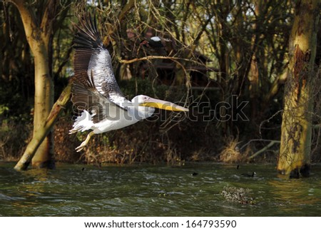 Beautiful Great Pelican flying above water on the backdrop of Acacia tree - stock photo