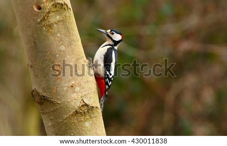 Beautiful Great Spotted Woodpecker (Dendrocopos major)