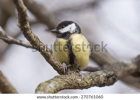 Beautiful Great Tit (Parus major) sitting on a branch.