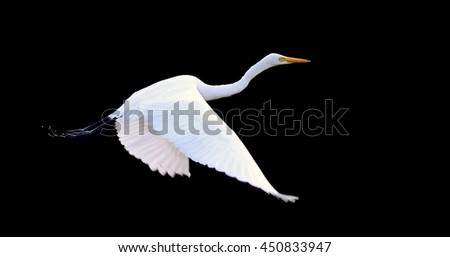 Beautiful Great white egret fly in wildlife