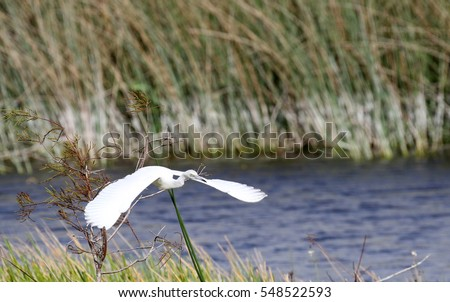 Beautiful great white egret, in a marsh in South Florida, flying.
