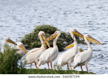 Beautiful Great white Pelicans  - stock photo