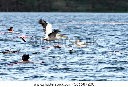 Beautiful great white Pelicans in flight - stock photo