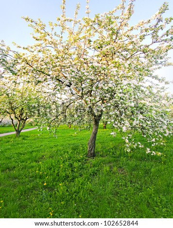 Beautiful green alley in spring blooming apple trees