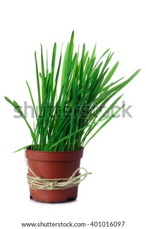 beautiful green and fresh grass growing in a vase on an isolated background