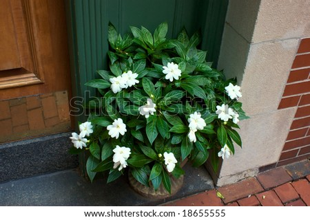 beautiful green and white plant in full foliage beside doorway in bostons beacon hill massachusetts - stock photo