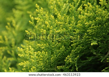 Beautiful green background of thuja tree