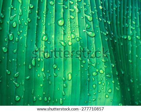 Beautiful Green Banana Leaf with Water Drops