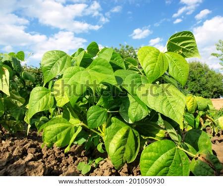 beautiful green Bean Field - stock photo