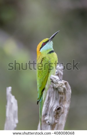 Beautiful Green Bee-Eater Isolated - stock photo