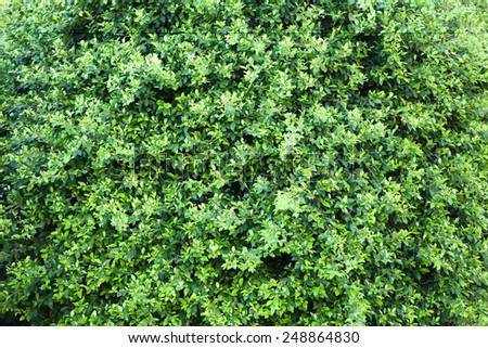 Beautiful green bush close up - stock photo