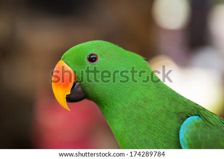 Beautiful green eclectus parrot bird - stock photo