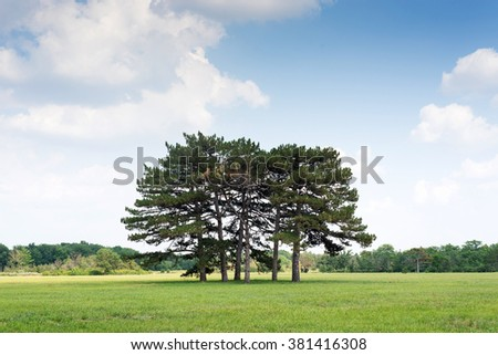 beautiful green forest, a group of pine trees growing in a field, trees against the blue sky with clouds, vegetation reserve - stock photo