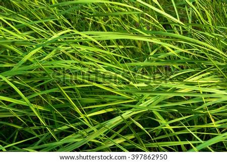 Beautiful green grass. Grass background. Green grass texture. - stock photo