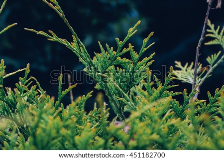 Beautiful green juniperus. Close up shot with bokeh