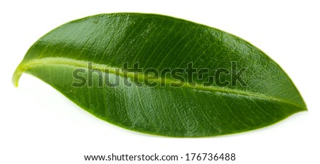 Beautiful green leaf, isolated on white - stock photo