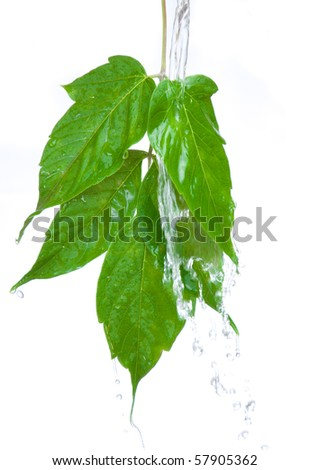 Beautiful green leaf over white background and splash water