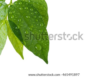 Beautiful green leaf with drops of water isolated on white background