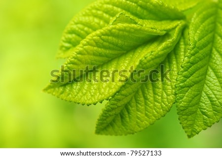 Beautiful green leaves close-up.