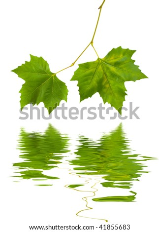 Beautiful green leaves in spring isolated on white - stock photo