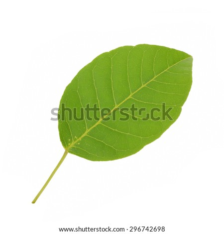 Beautiful green leaves isolate on white background