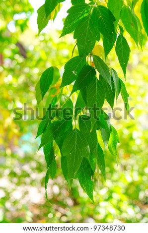 Beautiful green leaves make pattern background at sunny day