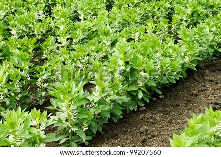 Beautiful green leaves of a growing cultivated field of broad or fava beans early summer. - stock photo