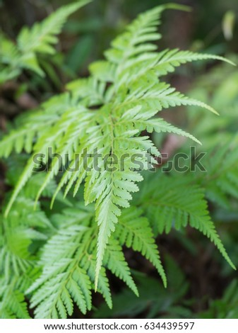Beautiful green leaves of foot fern or Hairs foot fern, Scientific Name is Davallia trichomanoides Bl. Close up of foliage natural, Nice fresh fern green davallia solida plants in nature of Thailand.