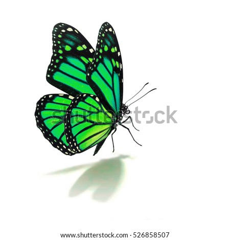 Beautiful green monarch butterfly isolated on white background