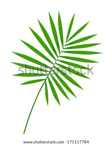 beautiful green palm leaf isolated on white background - stock photo