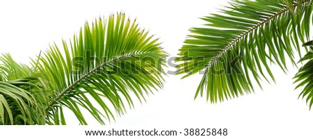 Beautiful green palm tree leaves - stock photo