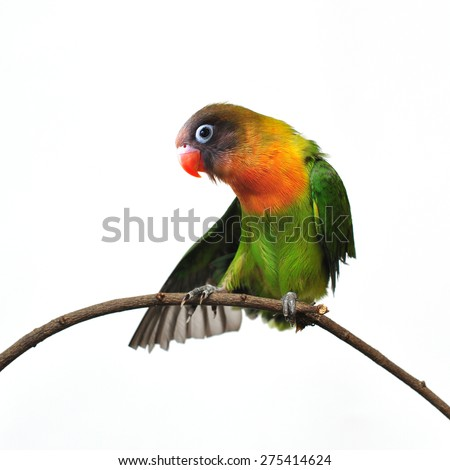 Beautiful green Parrot isolated on white background  - stock photo