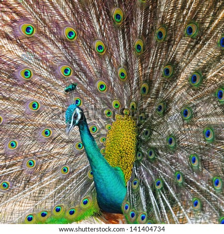 Beautiful Green Peafowl (male) with colorful tail fully open - stock photo