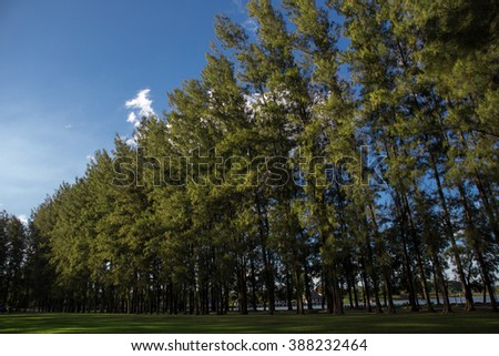 Beautiful green pine trees - stock photo