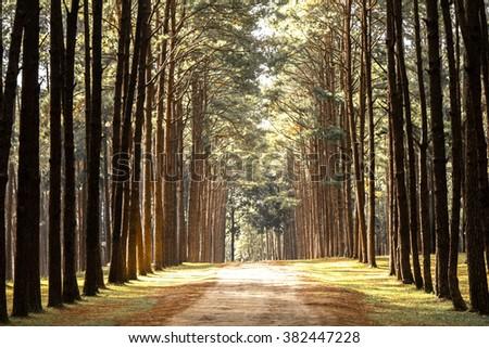 Beautiful green pine trees on Carpathian mountains in Chiang Mai - stock photo