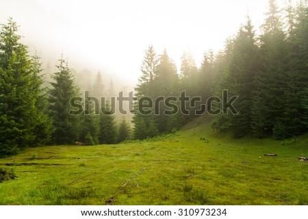 Beautiful green pine trees on Carpathian mountains in Ukraine - stock photo