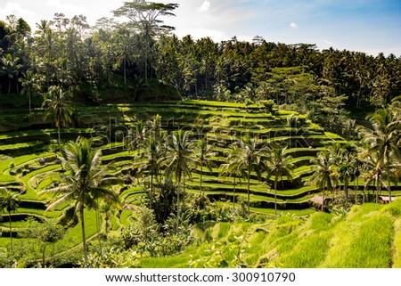 Beautiful green terrace paddy fields on Bali, Indonesia. - stock photo