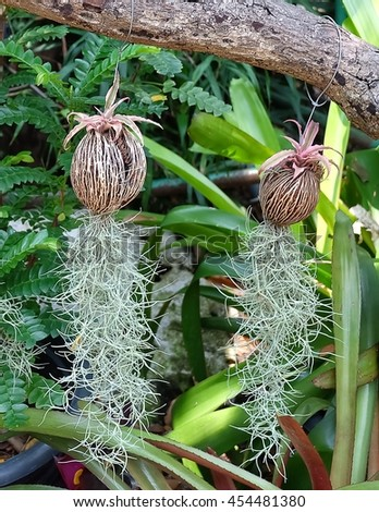 Beautiful Green Tillandsia Usneoides Plants or Spanish Moss Plants Hanging On The Air.  - stock photo
