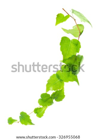 beautiful green twig of ivy is isolated on white background, closeup - stock photo
