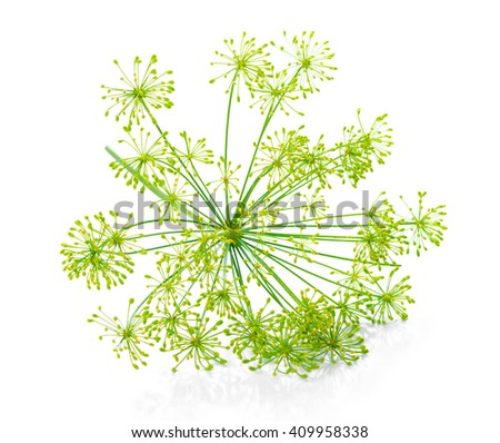 beautiful green umbrella mature dill  is isolated on black background, close up - stock photo