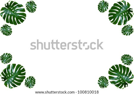 Beautiful, Green, Waxy Leaves in a Border Pattern, with Room for Text (Monstera Deliciosa) - stock photo