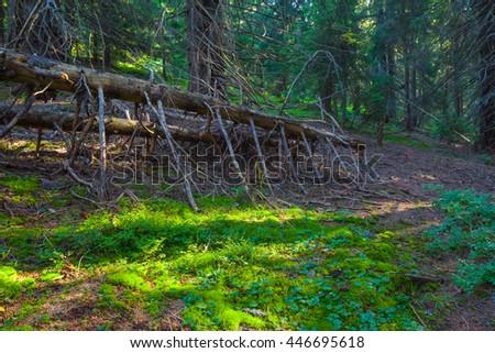beautiful green wet fir tree forest - stock photo