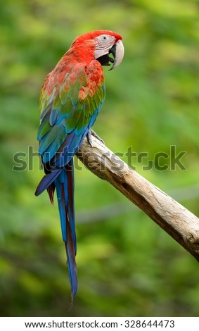 beautiful Green-winged Macaw (Ara chloropterus) as pet