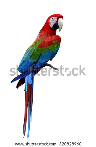 Beautiful Green-winged macaw bird standing on the floor isolated on white background, beautiful red bird